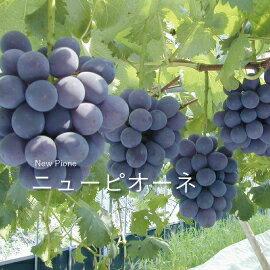 【旬果屋】日本岡山產 比歐內葡萄1房禮盒(貓眼葡萄) 600g 含宅配