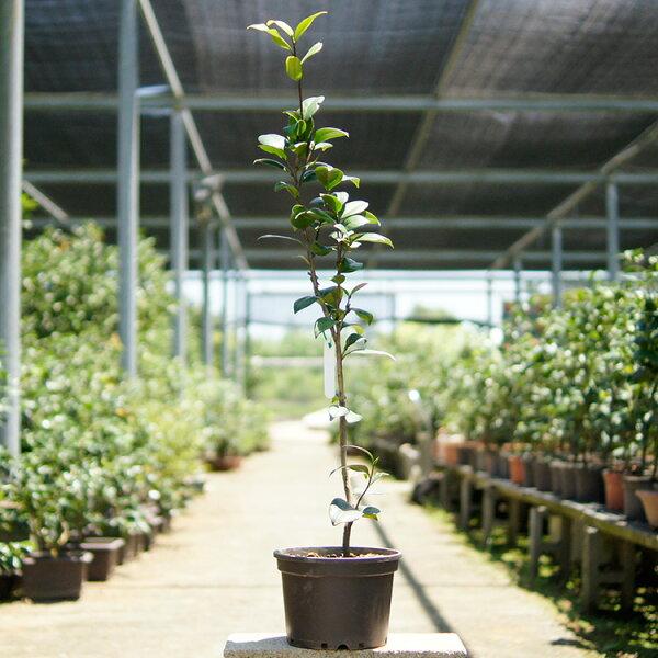 山茶花、品種:愛斯裘比莉(七吋花盆、樹高50CM~100CM不等)