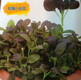 【尋花趣】貝比菜 紅葉小松菜  baby菜 種子 20天即可採收 辦公室或單身的最佳選擇
