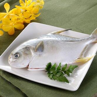 【鱻活一號】黃金鯧100~200g  【產銷履歷】黃金鯧在魚鰭部位因帶有金黃色澤因而得名,也稱「紅杉」或「金鯧」, 肉質細緻結實,滋味鮮美。所謂『一午、二紅衫、三白鯧、四馬加』的台灣俗諺, 就能得知黃金鯧的美味之處。