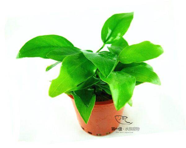 [第一佳 水族寵物]真水草- [黃金小榕]陰性水草 (隨便種都長的活的草種C02不用也可)