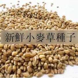 【芽苗種子-小麥草-300g-包】新鮮 種子 芽菜 陽臺種菜 有機 蔬菜 小麥苗種子,約300g/包,3包/組-5101003