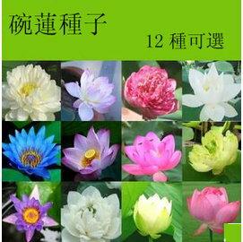 【花種子-碗蓮-10粒-分裝】水培植物 荷花睡蓮12種可選,約10粒/包,10包/組-5101003