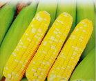 【尋花趣】雙色甜玉米-彩珍 小包裝 種子