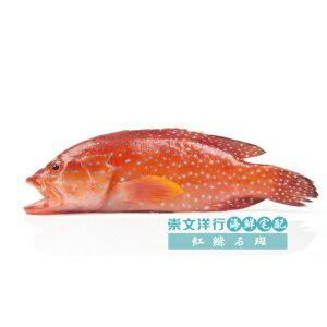 【海鮮主義】野生紅鰷石班 約300~400g
