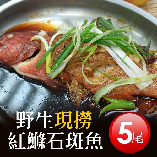 【築地一番鮮】峇里島野生紅鰷魚X5尾(250±50g/尾)