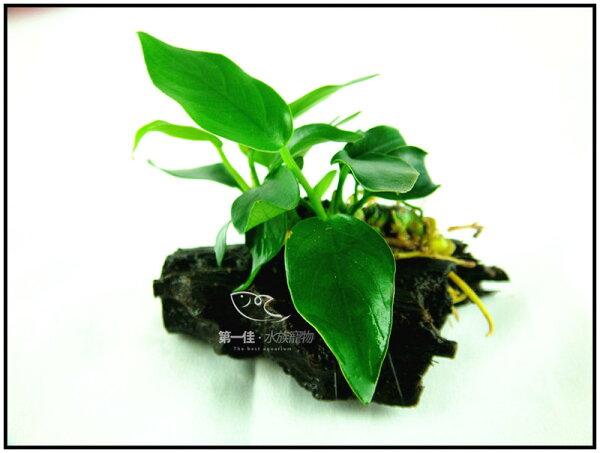 [第一佳 水族寵物]真水草 -陰性水草 (隨便種都長的活的草種C02不用也可) [迷你小榕沉木]
