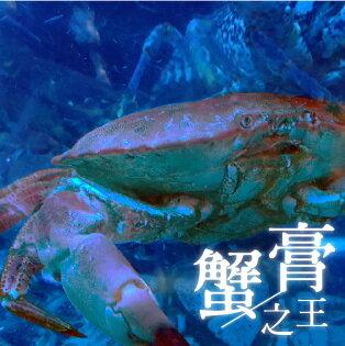 《活的!愛爾蘭麵包蟹》蟹膏之王,誰與爭鋒!體內蟹膏是其他蟹類的6-10倍!連蟹螯也是精實飽滿!