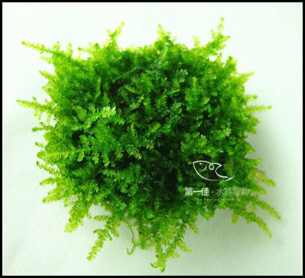 [第一佳 水族寵物]真水草-陰性水草-初學者熱門水草品種 [小三角莫絲/默思石]
