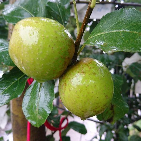 【預購中9月中~10月初】青龍蘋果(甜青蘋果)10斤裝 / 尚品果園