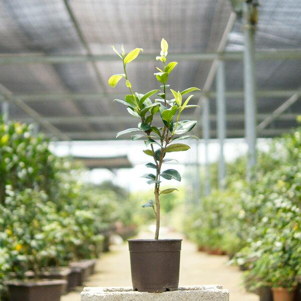 山茶花、品種:愛斯裘比莉(ACS Jubilee 茶花慶典)(五吋花盆、樹高40CM~90CM不等)