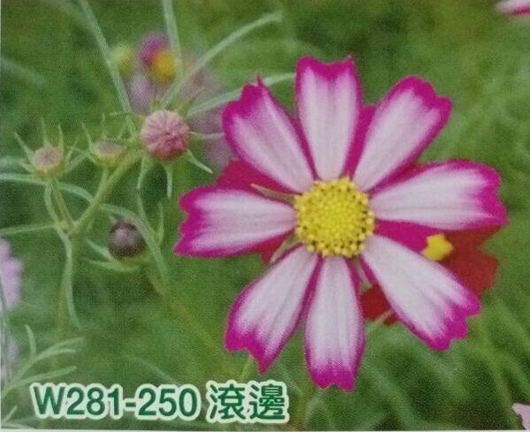 【尋花趣】美國進口 大波斯菊 (滾邊混合色) 1公斤/包 大波斯菊種子 花海大波斯菊種子