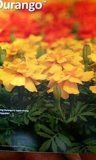 【尋花趣】美國進口 F1 第一代雜交品種  專業用孔雀菊混合色草花種子(矮性) 每包10粒