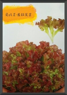 尋花趣-貝比菜 蘿拉蒿苣 baby菜 種子  20天即可採收 辦公室或單身的最佳選擇