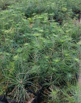 【尋花趣】日本五葉松苗3.5寸黑軟盆 高度約15-20cm 現貨供應中 數量有限 售完為止