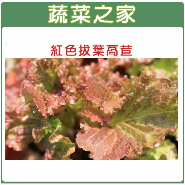 【蔬菜之家】大包裝A31.紅葉拔葉甜萵苣種子15克(日本進口拔葉A菜 ,韓國烤肉使用包肉生菜)