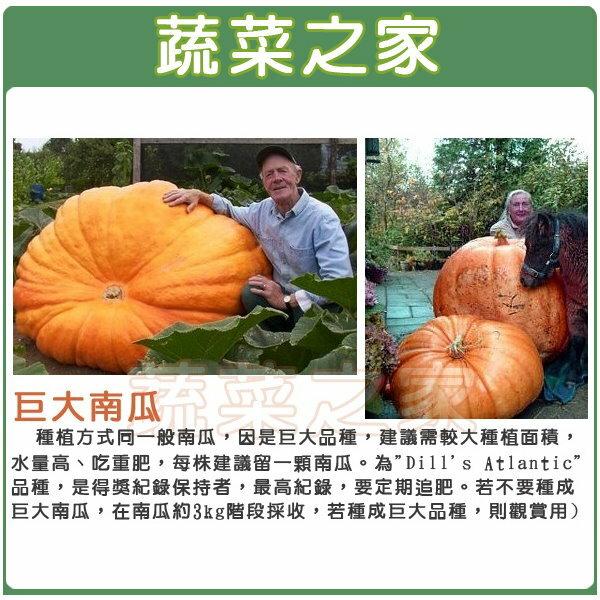 【蔬菜之家】大包裝G80.巨大南瓜種子8顆