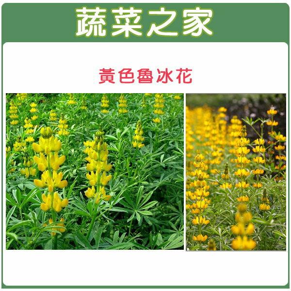 【蔬菜之家】H10.魯冰花(黃花)種子20顆