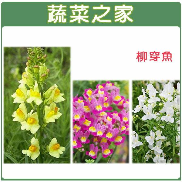 【蔬菜之家】H28.柳穿魚(混合色,高60cm)種子50顆