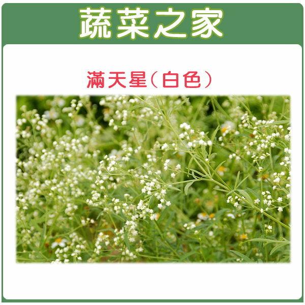 【蔬菜之家】H30.滿天星(白色,高60~90cm)種子30顆