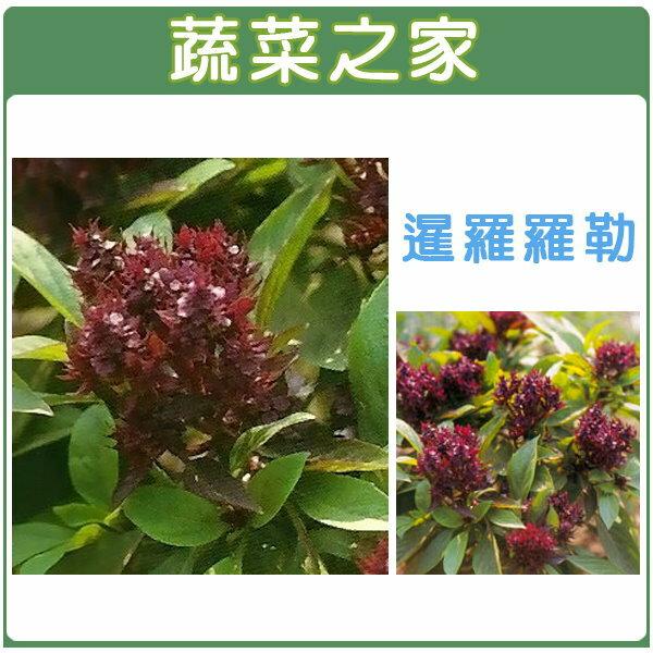 【蔬菜之家】K13.暹羅羅勒種子20顆