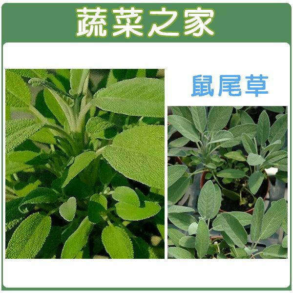 【蔬菜之家】K16.鼠尾草種子20顆