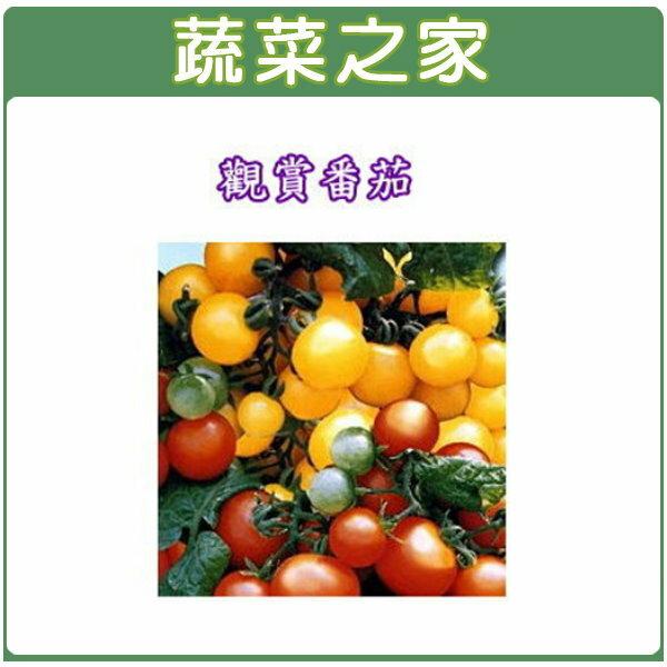 【蔬菜之家】P05.觀賞番茄種子35顆(迷你貝)