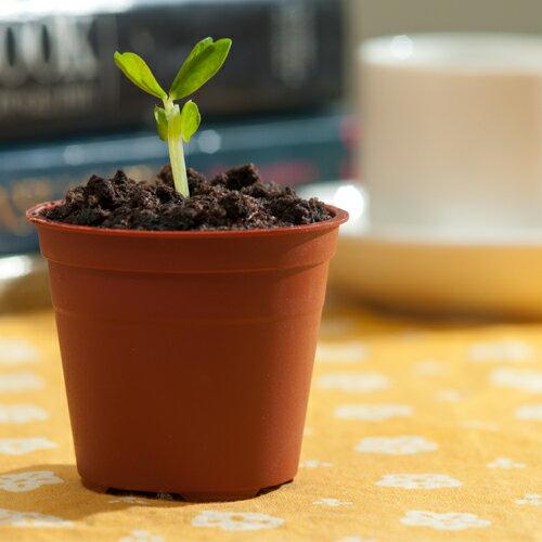盆栽提拉米蘇蛋糕-療癒系小豆苗1盒(10顆裝)