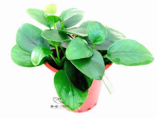 [第一佳 水族寵物]真水草-迷你小榕 陰性水草(隨便種都長的活的草種C02不用也可)
