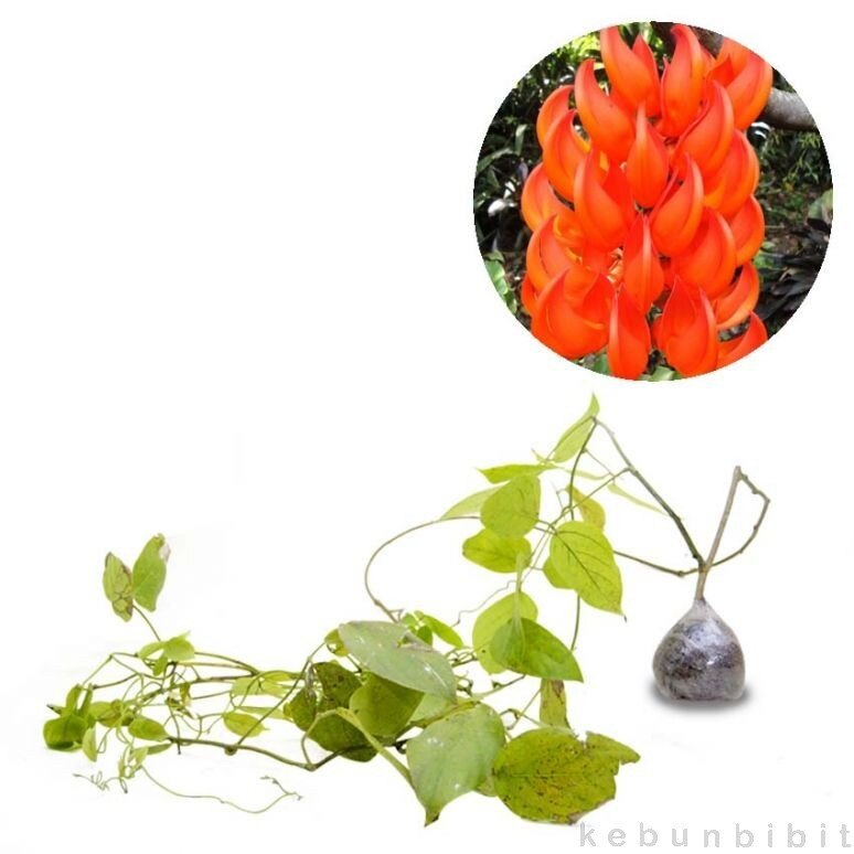 JUAL Bibit Bunga Mawar 10pcs warna warni   inkuiri.com