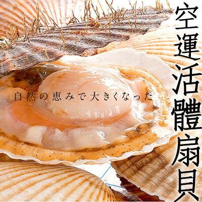 ㊣盅龐水產 ◇日本空運活體扇貝◇225g±10%/顆  扇貝 帆立貝 烤肉 火鍋 餐廳 批發 團購