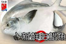 【大紅魚】白鯧魚