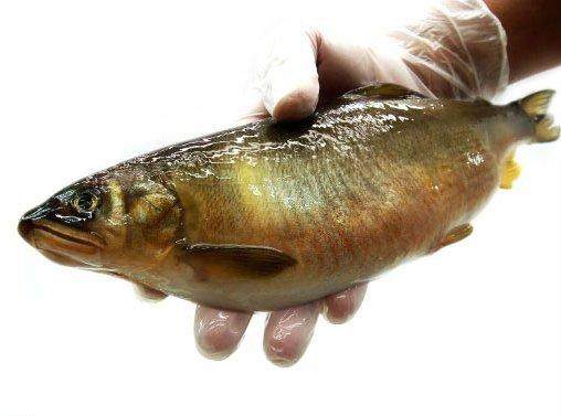 【大和水產】烤肉必備 爆卵極品 母香魚(5P) 1kg