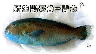 【大紅魚】野生鸚哥魚-青衣魚片