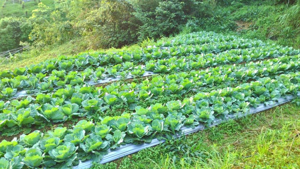 【將豪健康農產】夏季-初秋高麗菜 (約500~800g/ 顆)難的一見鮮脆甜