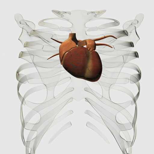 Medical illustration of human heart and rib cage three dimensional view Poster Print (14 x 14) 1c5cf772c67fcd74a594a612515d78cb