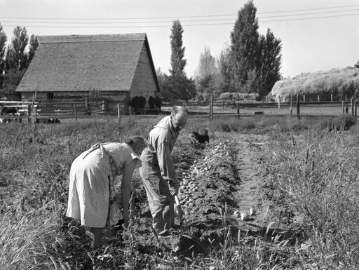 Oregon Farming 1939 Nfarm Couple Digging Up Their Sweet Potatoes During The Harvest In Irrigon Morrow County Oregon Photograph By Dorothea Lange October 1939 Poster Print by (18 x 24) feac2cfb5449eeaf761b3637985d9aea