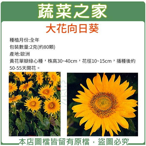 大包裝H41.大花向日葵種子2克(約80顆)