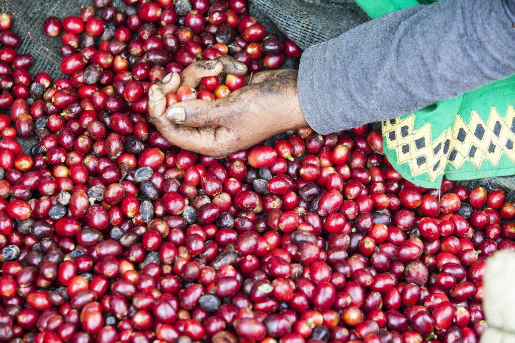 【林咖啡】瓜地馬拉 / 安提瓜  /  貝拉 卡摩娜 / 花神 / 水洗+ 陽光屋乾燥法 / SHG   250g(半磅+10%)