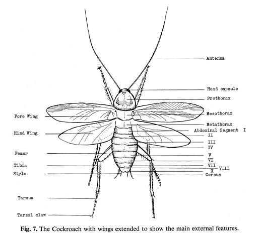 Cockroach Nmain External Features Of The Cockroach Line Engraving Poster Print by (24 x 36) 3276b7edcf48711e25d6de85680f15b3