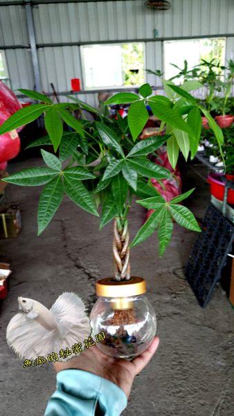 魚痴的秘密花園 水耕植物盆栽 [編織造型馬拉巴栗 美國花生 發財樹] 室內室外皆可