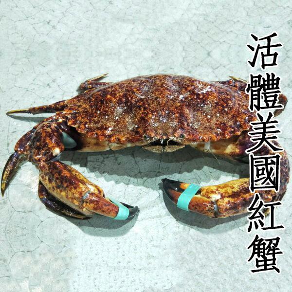 ㊣盅龐水產◇活體美國紅蟹◇歡迎團購批發餐廳