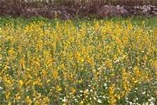 『農stay國輝.現貨』太陽麻種子.綠肥植物,休耕期栽培當綠肥有機農作《小包裝3台斤100元 》