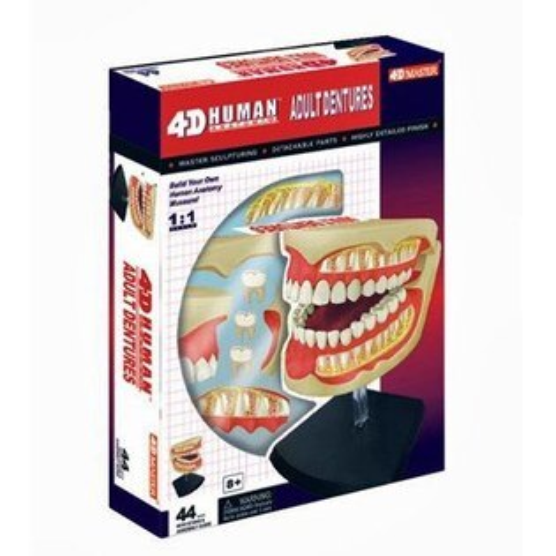 《4DPUZZLE》人體器官-齒模1:1