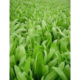 【菜種子-香油麥種子-1000粒-分裝】蔬菜種子 油麥菜,種子瓶分裝,1000粒/瓶,10瓶/組-5101002