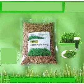 【小麥草種子-500g】無農藥殘留,可種家用育苗盤4~5盤,每盤剪草100~160g,約500g/包,3包/組-5101004
