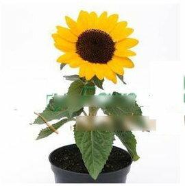 【花種子-陽光向日葵-5粒-分裝】家庭園藝盆栽,四季簡單好種,種子瓶分裝,約5粒/瓶,5瓶/組-5101002