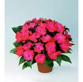 ~花種子~新幾內亞鳳仙~5粒~分裝~ 盆栽花卉,多色 多年生周年開花不斷,種子瓶分裝,約5