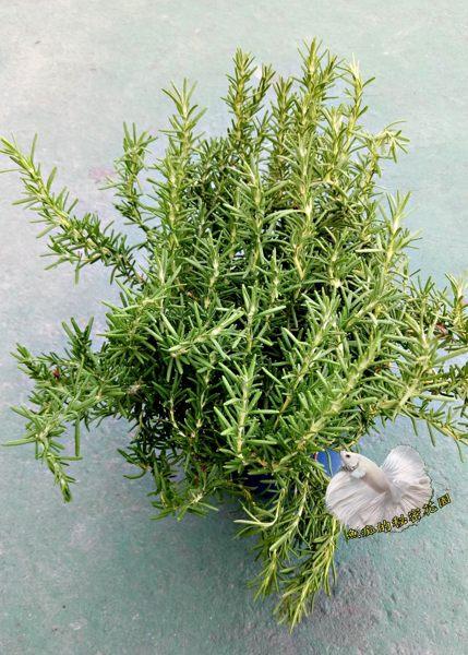 5吋盆  藍小孩迷迭香盆栽 匍匐迷迭香盆栽  活體香草植物盆栽 可食用.料理或泡茶 ~ 半