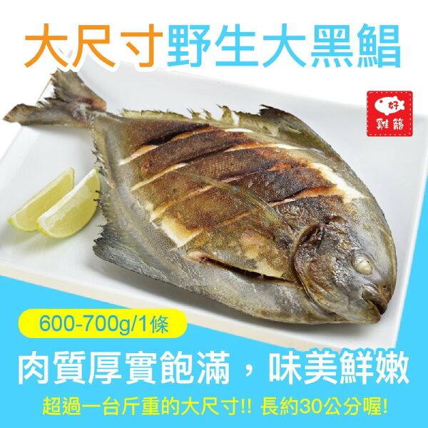 【雞籠好魚】野生大黑鯧(600-700g1條)★超過一台斤重的大尺寸,長約30公分,肉質厚實飽滿,味美鮮嫩